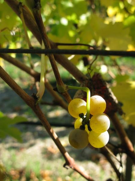 尚未採收的白葡萄
