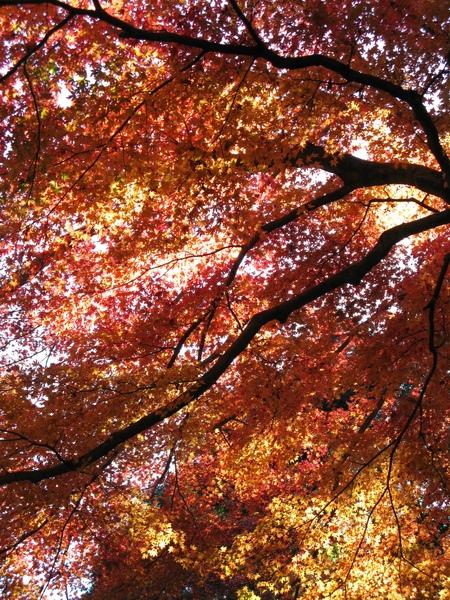 箱根日本楓紅