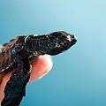 2013 Sea Turtle MX-002-70