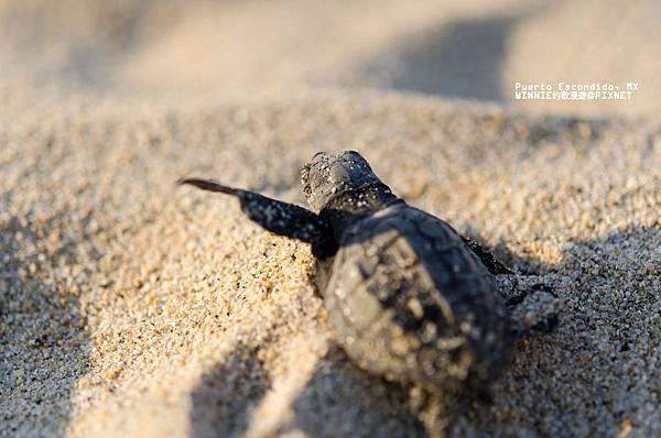 2013 Sea Turtle MX-002-152