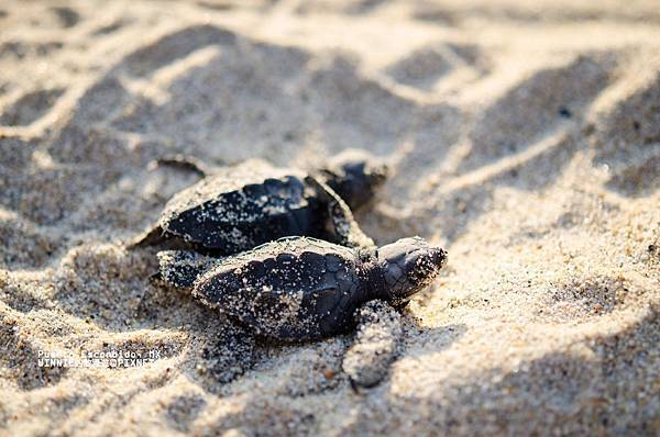 2013 Sea Turtle MX-002-155
