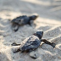 2013 Sea Turtle MX-002-173