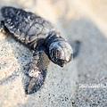2013 Sea Turtle MX-002-202