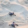 2013 Sea Turtle MX-002-372