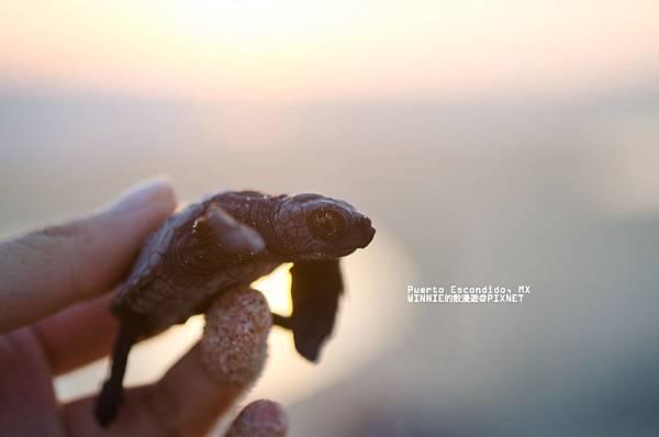 [墨西哥]拜訪小海龜中途之家