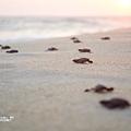 2013 Sea Turtle MX-003-31
