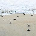 2013 Sea Turtle MX-003-48