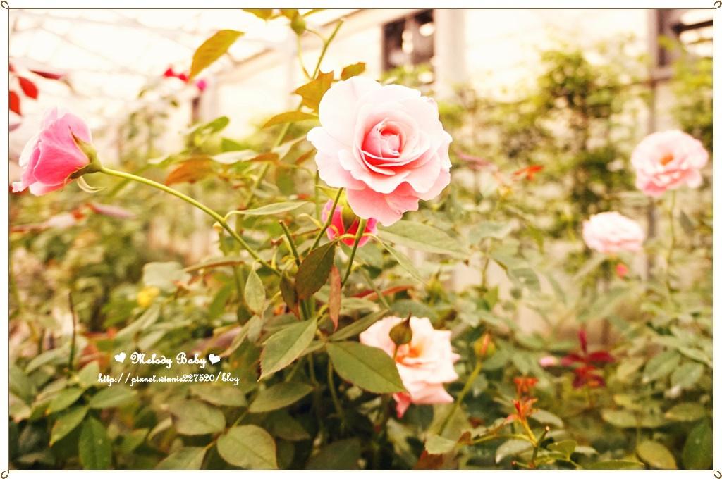 蘿莎玫瑰莊園 (38).JPG