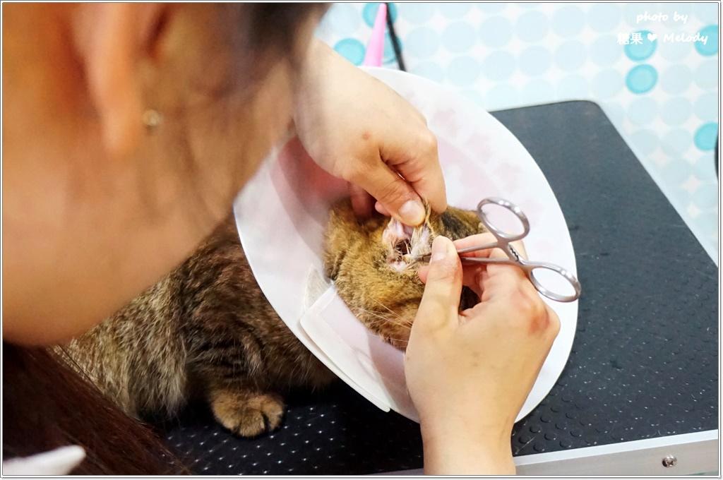 台中貓旅館-耳部清潔