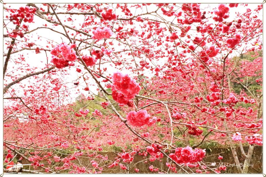 九族櫻花祭 (14).JPG