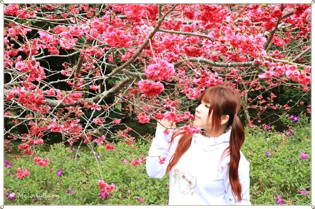 九族櫻花祭 (16).JPG