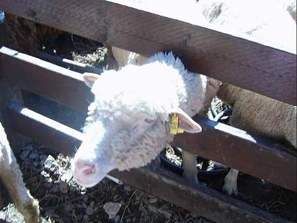 清境-左耳有標籤,我是公羊