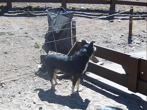 清境-牧羊犬比較可愛