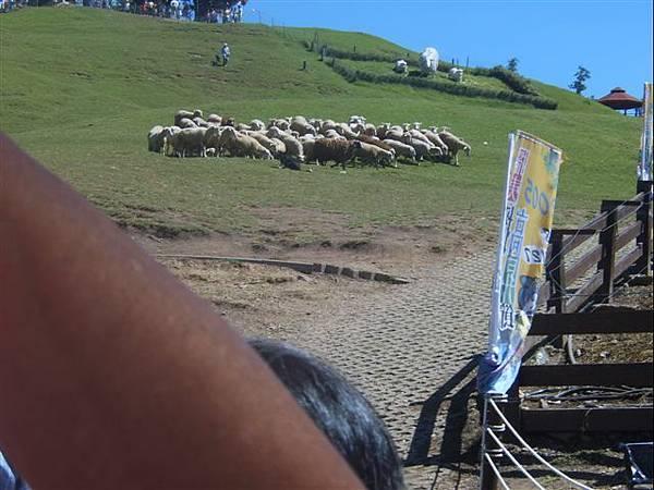 清境-牧羊犬正在趕羊