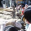 清境-愛吃的羊