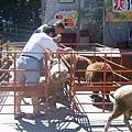 清境-綿羊秀