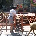 清境-綿羊秀1