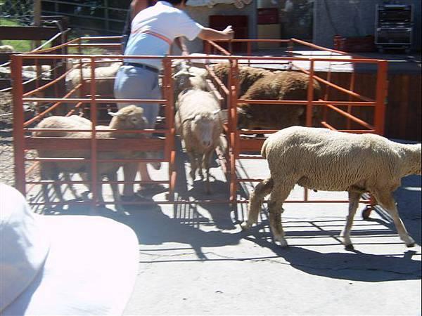 清境-綿羊秀2
