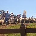 清境-綿羊秀開場