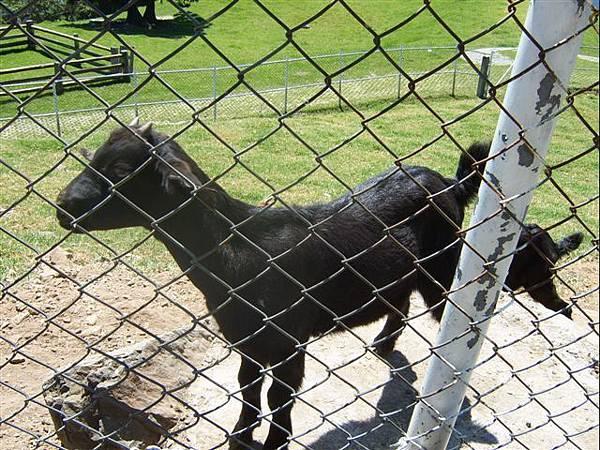 清境-像黑狗的羊