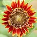 這哪是向日葵阿 明明跟太陽差不多