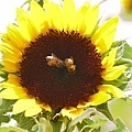 兩隻小蜜蜂.jpg