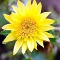 像菊花的向日葵.jpg