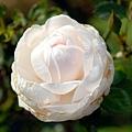玫瑰4.bmp