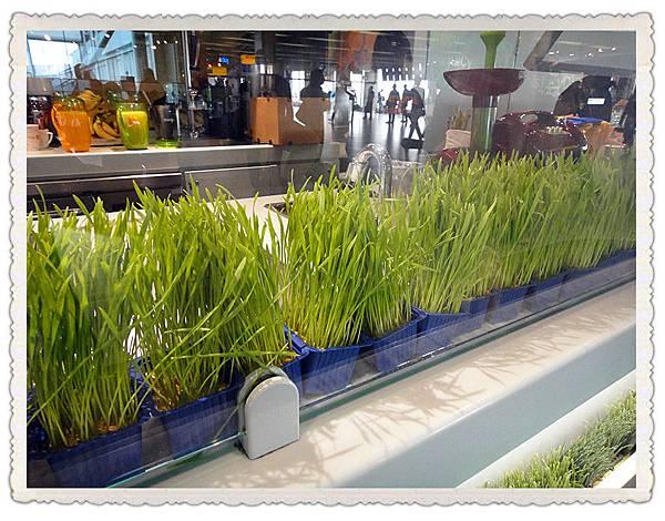 小麥草.jpg