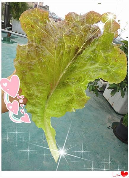 自種有機生菜.jpg