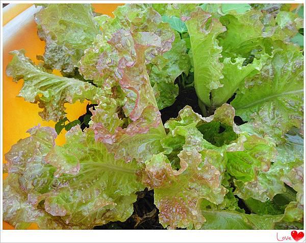 自種有機生菜3.jpg
