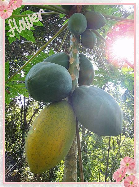 有機木瓜成熟.jpg