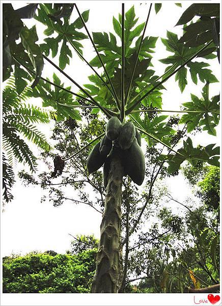 有機木瓜樹.jpg