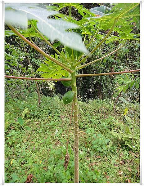 今年3月有機木瓜樹.jpg
