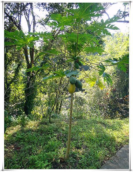 今年11月有機木瓜樹.jpg