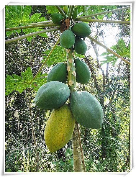 今年11月有機木瓜樹2.jpg
