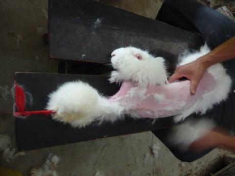 一瞥安哥拉兔毛產業