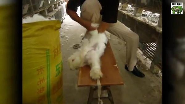 活剝兔毛3