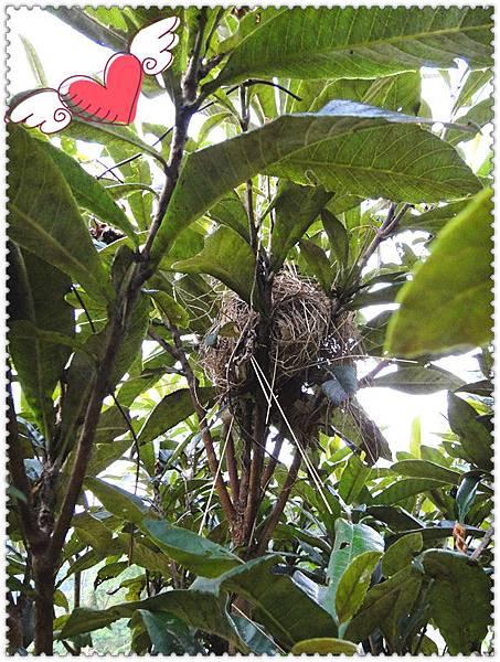 小鳥枇杷樹築巢.jpg