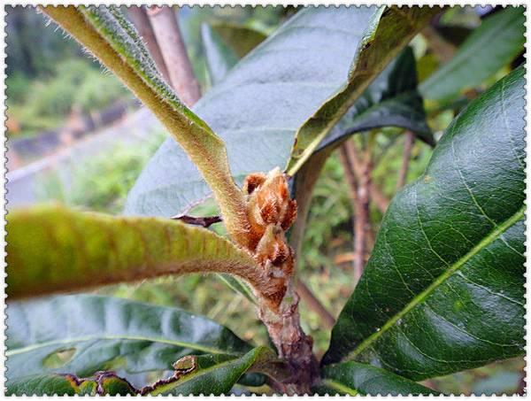 枇杷果樹.jpg