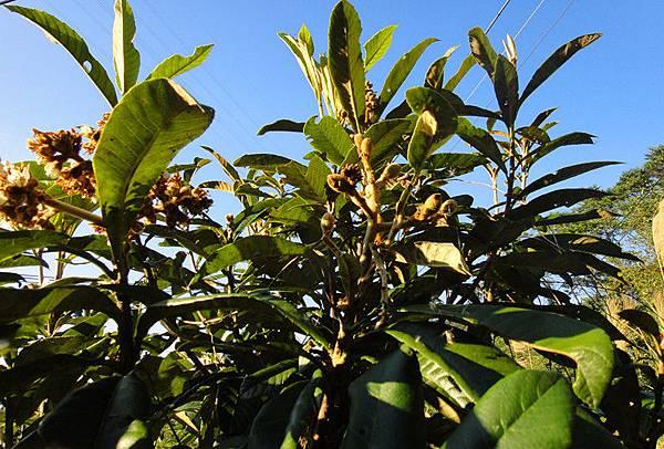枇杷果樹4.jpg