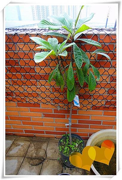 枇杷果樹5.jpg
