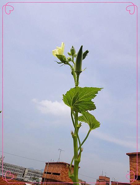 有機秋葵17.jpg