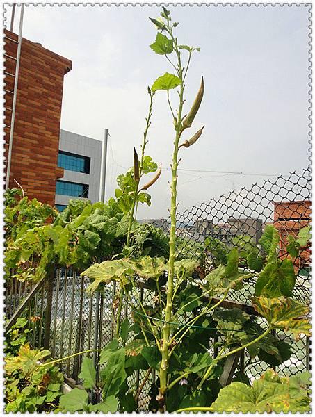 有機秋葵18.jpg