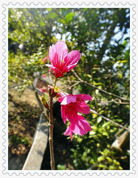 賞櫻花3.jpg