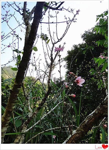 賞櫻花11