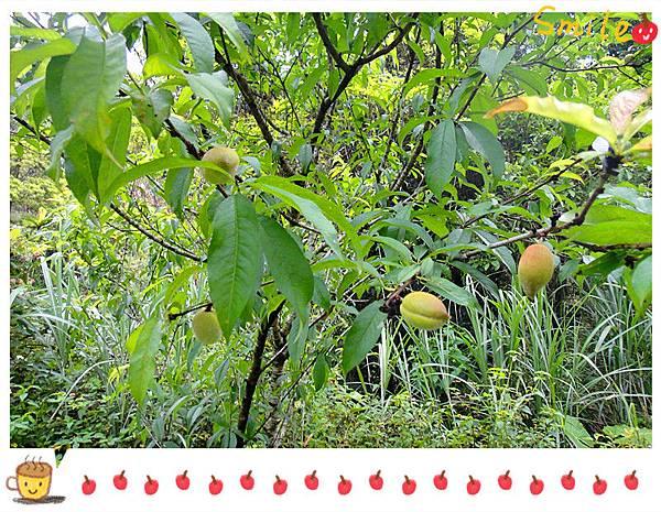 有機小蜜桃8.jpg