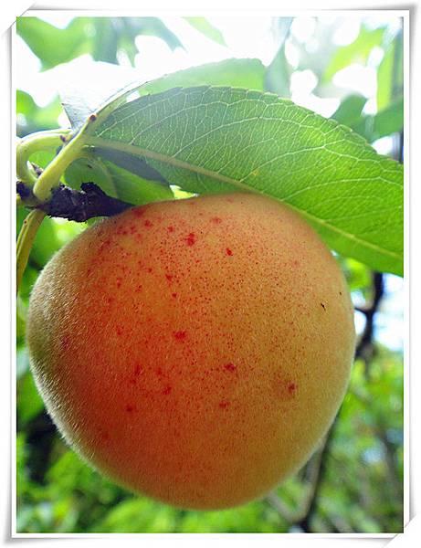 有機水蜜桃2.jpg