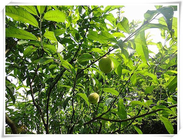 有機水蜜桃5.jpg