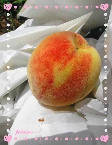 有機水蜜桃豐收2.jpg